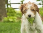Kromfohrlander Puppy