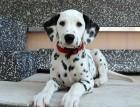 Dalmatian Puppy