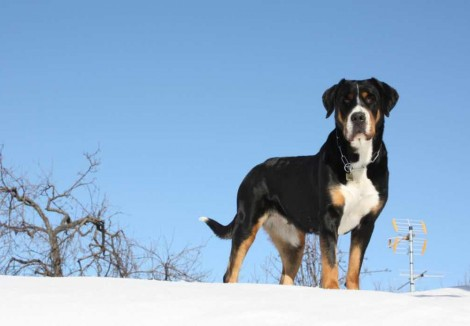 Adult Greater Swiss Mountain Dog