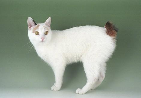 Japanese-Bobcat.jpg