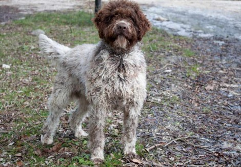 Large Lagotto Romagnolo