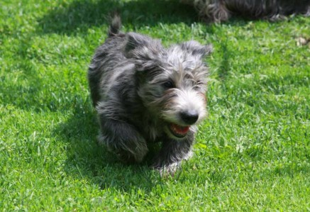Glen of Imaal Terrier Puppy