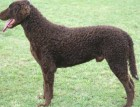 Adult Curly Coated Retriever