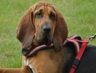 Bloodhounds Face