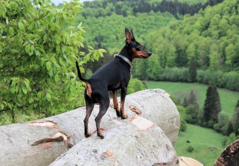 Adult Miniature Pinscher