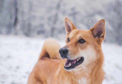 Canaan Dogs Face