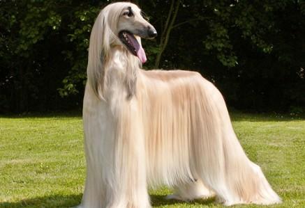 afgan-hound.jpg