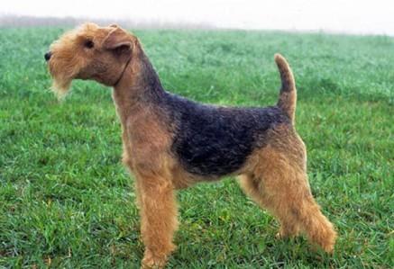 Lakeland-Terrier.jpg