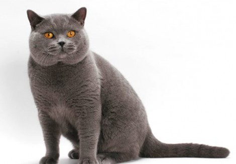 British-Shorthair.jpg