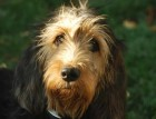 Otterhound Face