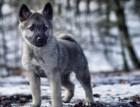 Norwegian Elkhound Puppy