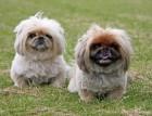Two_Pekingese_Dogs.jpg