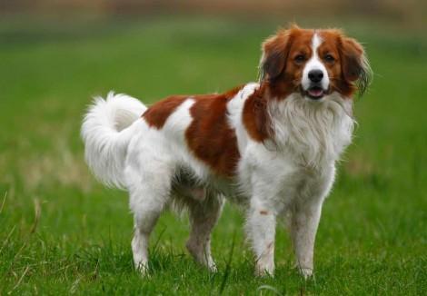 Kooikerhondje Dog