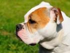 Old Tyme Bulldog Head
