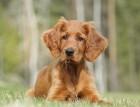 Irish Setter Puppy