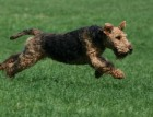 Welsh Terrier Running