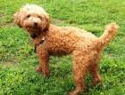 Adult Poodle