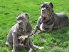 Two Neapolitan Mastiffs