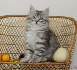 Pedigree Russian Silver Siberian Kitten