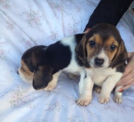Kc reg tri coloured beagle puppies