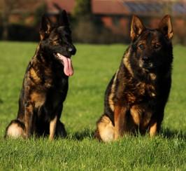 Top Czech/Ddr German shepherd puppies