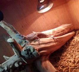 Baby bearded dragon and set up