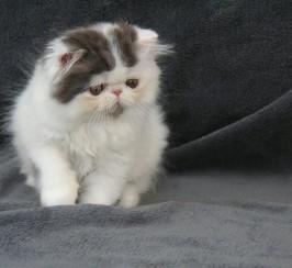 Persian (Exotic Longhair) boy