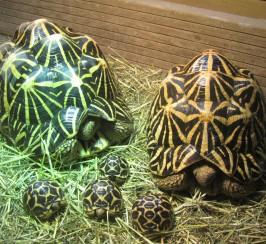 Tortoise, Indian star cb16