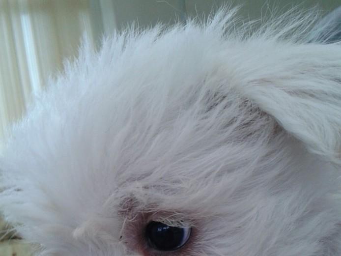 Adorable Weechon puppies