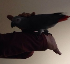 DNA Tested African Grey ParrotS with Cage and Stand For Sale