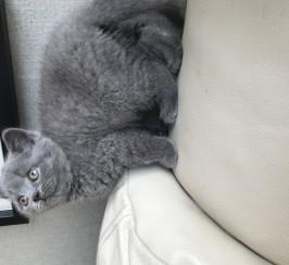 Blue British Kittens