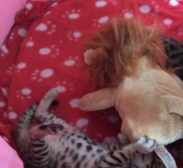 Registered Stunning Purebred Gold Rosetted Bengal Kittens
