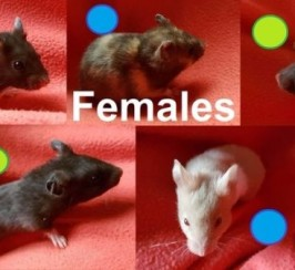 Young Syrian hamsters ready to go asap