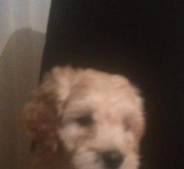 Cockerpoo boy 9 weeks old