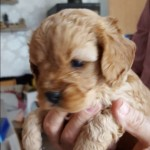 Stunning F1 Cavapoo Pups Health Tested Parents