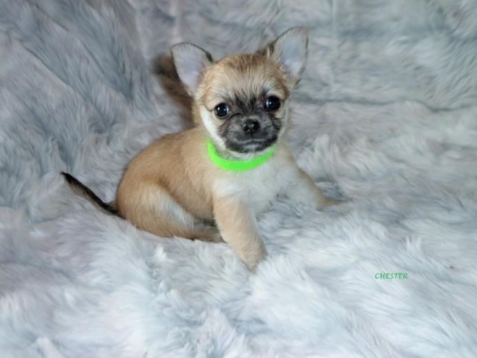 Kc Reg Stunning Double Long Coat Chihuahua Puppies