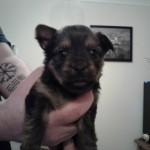 Chihuahua Cross Puppies For Sale