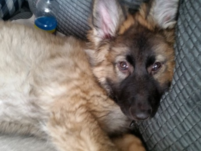 German Shepherd Girl Pup