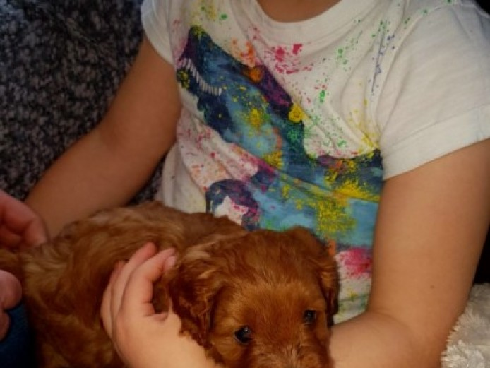 Health Tested Parents, Cavapoo Puppies