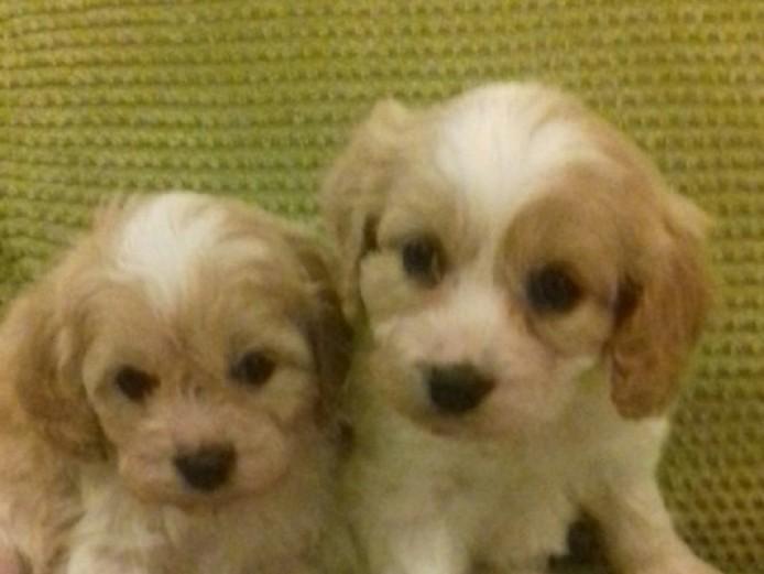 F1 Cavapoo Puppies
