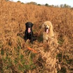 Beautiful Chunky F1 Labradoodles Ready On May 9th