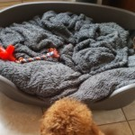Dark Red Cavapoo Puppies 10 Weeks Old