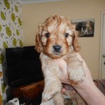 F1  Cavapoos Puppies 1 Girl  Available