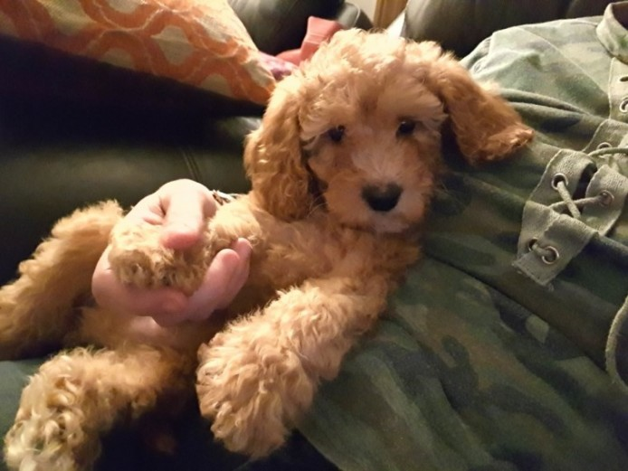 Stunning Red Miniature Male Cockapoo Puppy