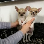 Stunning Chihuahua Boys For Sale