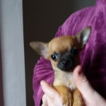 Chihuahua Puppies For Sale Kc Registered