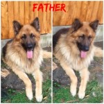 Vaccinated Kc Registered German Shepherd Puppies
