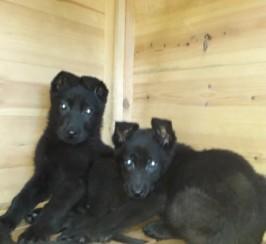 Kc Reg German Shepherd Puppies Ready