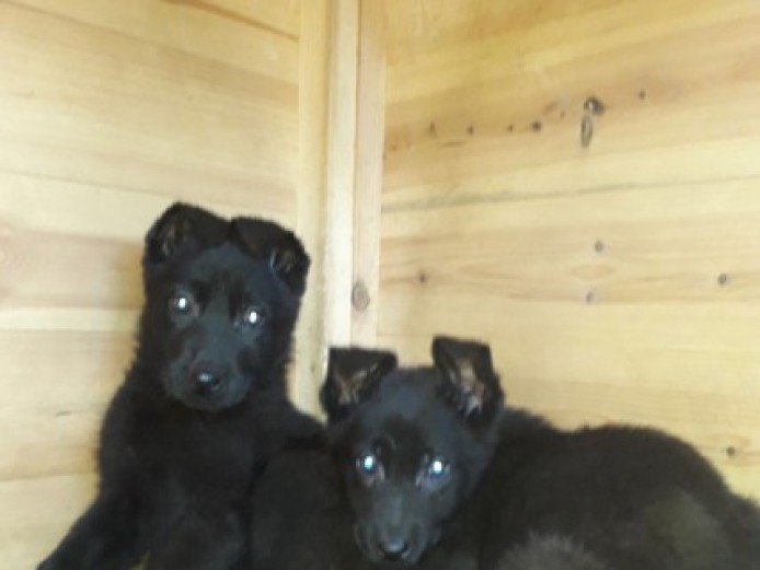 Kc Reg German Shepherd Puppies Ready