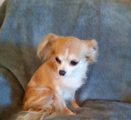 Chihuahua Bitch
